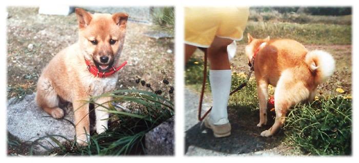 Shiba inu Squatting dog Sakura